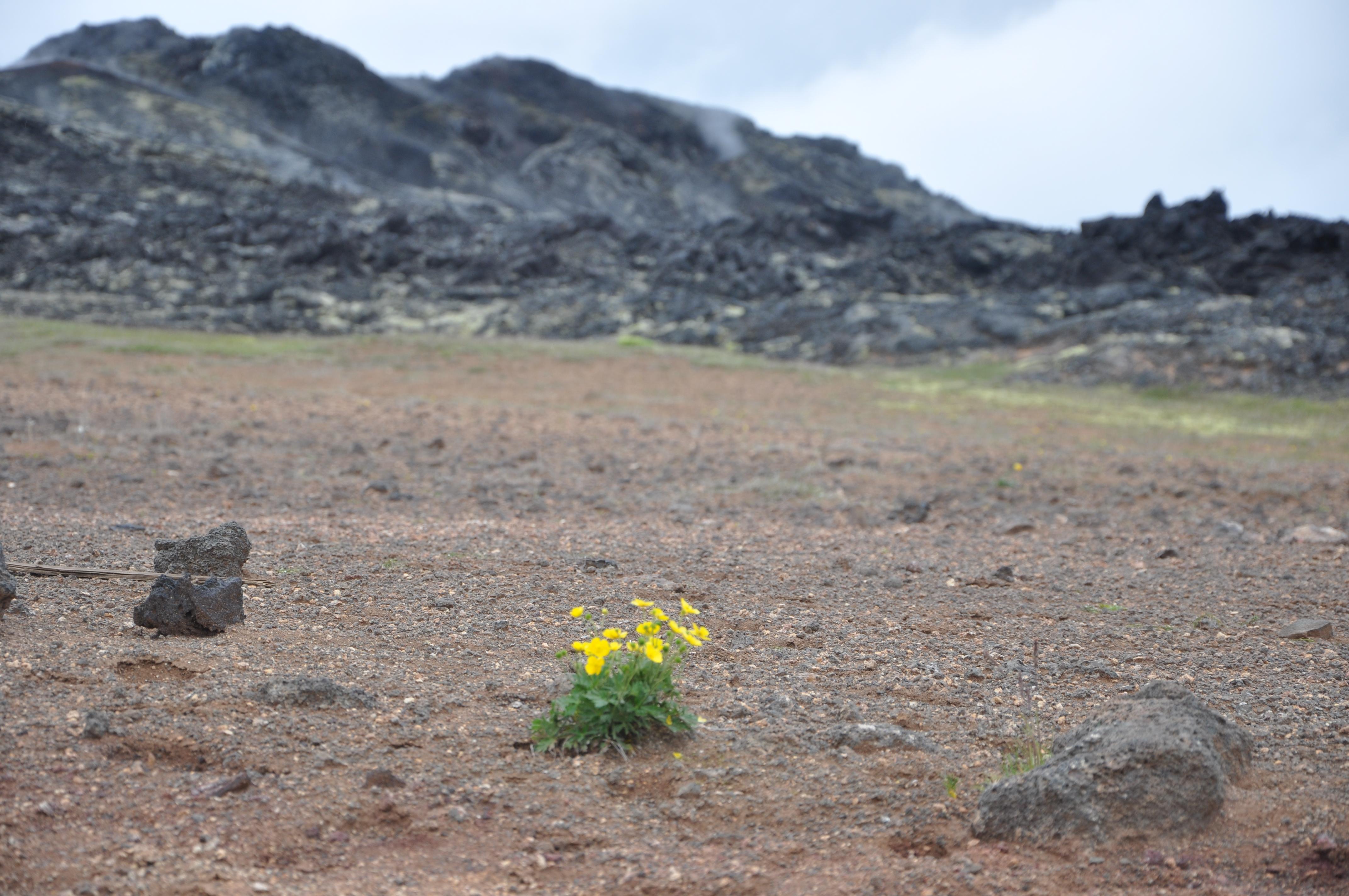 Ensam blomma i syrefattig miljö